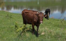 Dos vacas pastan Imágenes de archivo libres de regalías