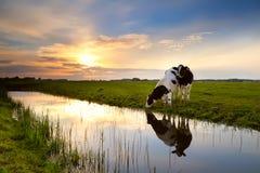 Dos vacas por el río en la puesta del sol Fotografía de archivo