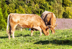 Dos vacas que pastan Imagen de archivo