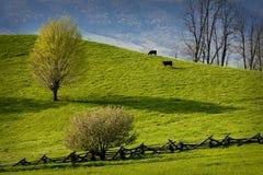 Dos vacas que pastan en pasto de la montaña. Foto de archivo