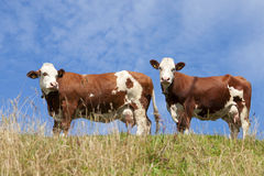 Dos vacas rojas fotografía de archivo
