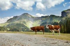 Dos vacas rojas en el camino de la montaña Foto de archivo