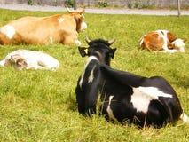 Dos vacas suizas con el Ca recién nacido Fotografía de archivo libre de regalías