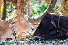 Dos vacas una negras y un sueño marrón debajo de árboles en el s caliente Fotos de archivo