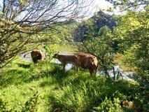 Dos vacas y un becerro pastan en los bancos del lago del bino Imagen de archivo