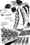 Dos vainas de habas y cultivados en los campos ilustración del vector