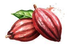 Dos vainas del cacao Superfood Ejemplo dibujado mano de la acuarela, aislado en el fondo blanco ilustración del vector