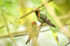 Dos varones de ornatus copetudo de Lophornis de la coqueta que se sienta en la rama, pájaro del bosque tropical caribean, Trinida fotos de archivo