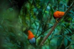 Dos varones de peruvianus andino del Rupicola de la Gallo-de--roca lekking y dysplaying delante de hembras foto de archivo libre de regalías