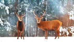 Dos varones nobles de los ciervos con las hembras contra la perspectiva de un invierno artístico del invierno del bosque hermoso  Fotografía de archivo