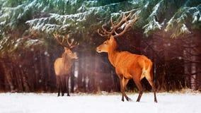 Dos varones nobles de los ciervos contra la perspectiva de un invierno artístico del invierno del bosque hermoso de la nieve ajar Imagen de archivo libre de regalías