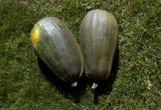 Dos verdes y calabazas amarillas Fotografía de archivo libre de regalías