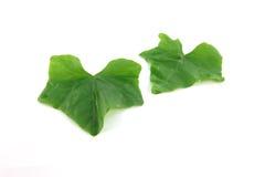 Dos verduras de la calabaza. Fotografía de archivo