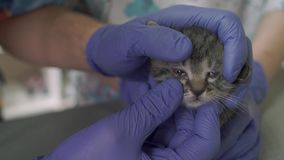 Dos veterinarios examinan un pequeño gatito juntos almacen de metraje de vídeo