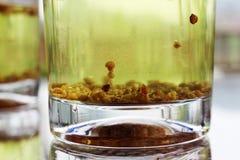 Dos vidrios de té del alforfón en la tabla Imagen de archivo libre de regalías