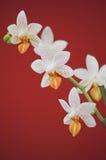 Dos violetas y flores blancas de la orquídea Imágenes de archivo libres de regalías