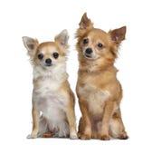 Dos 5 y 4 años de las chihuahuas, sentándose uno al lado del otro Imágenes de archivo libres de regalías