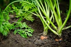 Dos zanahorias en la tierra Foto de archivo libre de regalías
