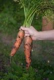 Dos zanahorias sucias en las manos del granjero Foto de archivo