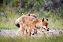 Dos zorros en la arena Imagen de archivo
