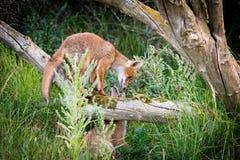 Dos zorros que juegan alrededor de un árbol Foto de archivo libre de regalías