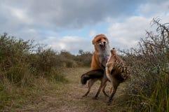 Dos zorros rojos que luchan en las dunas Imagen de archivo
