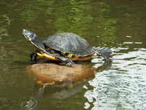 Dosenschildkröte Stockfoto