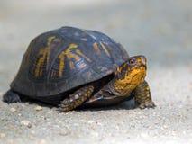 Dosenschildkröte lizenzfreie stockfotografie