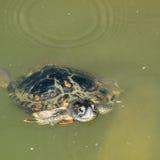 Dosenschildkröte-Oberflächenbearbeitung Lizenzfreie Stockbilder