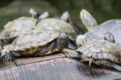 Dosenschildkröten, die unter der Sonne sich aalen Stockbild