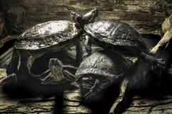 Dosenschildkröten - gestapelt auf einander Stockfotografie