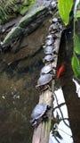 Dosenschildkrötenreihe Lizenzfreie Stockfotos