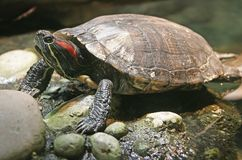 Dosenschildkröte 3 Stockbild