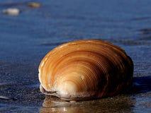 Dosinia anus (ringed venus shell) Royalty Free Stock Images