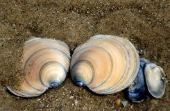 Dosinia anus (ringed venus shell) Royalty Free Stock Photo