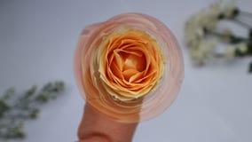 Doskonała kwiat brzoskwinia Wzrastał zdjęcia stock