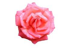 doskonale odosobnione rose Fotografia Royalty Free
