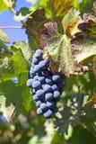 Doskonalić winorośl obrazy stock
