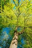 Dossel da mola da árvore Floresta decíduo, natureza do verão em ensolarado imagens de stock royalty free