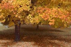 Dossel das folhas de bordo no outono imagem de stock royalty free
