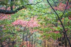 Dossel das folhas de outono em cores vibrantes da laranja, do verde e do y Fotografia de Stock Royalty Free