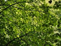 Dossel das folhas do verde em uma madeira fotos de stock royalty free