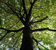 Dossel de árvore Imagem de Stock Royalty Free