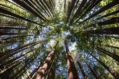 Dossel de árvore da sequoia vermelha imagem de stock royalty free