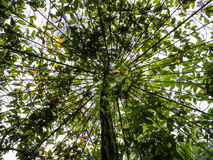 Dossel de árvore que cresce em torno da treliça Foto de Stock Royalty Free