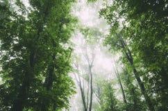 Dossel de floresta verde com névoa Foto de Stock Royalty Free