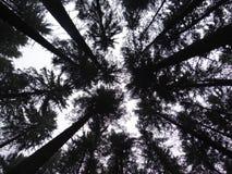 Dossel-estrutura da floresta alba Abies Fotos de Stock