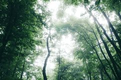 Dossel verde na floresta enevoada Imagens de Stock