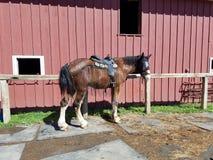 Dostawać przygotowywający jechać konie przez drewien Zdjęcie Royalty Free