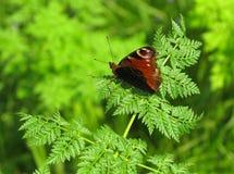 Dostawać przygotowywający latać Pawiego motyla (inachis io) Obrazy Royalty Free